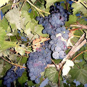 Гостевой Дом Вахтанга: большая гроздь темного винограда на виноградном дереве