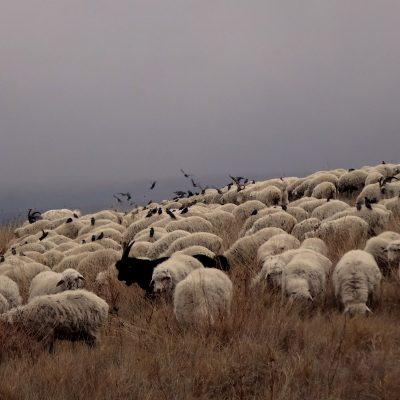 Gruzijos gamtoje: avių banda rudoje Vašlovani rudens pievoje su aplink sklendžiančiais paukščiais